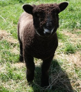 coloured ryeland ram lamb