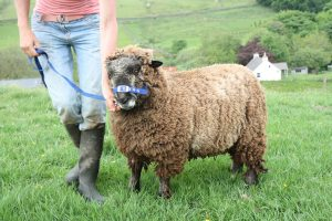 wallace coloured ryeland tup
