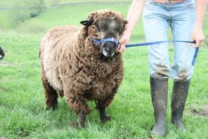 wart coloured ryeland tup