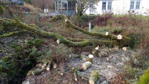 fallen willow tree