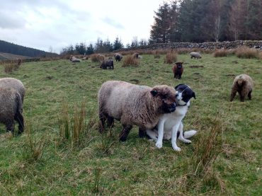 George and Ursi – A Dog and Sheep love affair