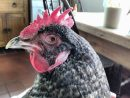 Swollen Hen