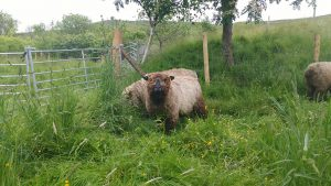 yakozuki awaiting shearing