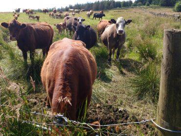 Cows drink us dry