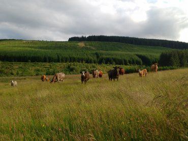Cows Return to Auchenstroan