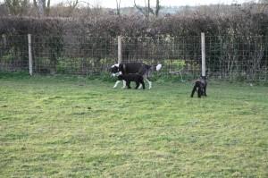 George (our Anatolian Shepherd) on patrol with Lisa