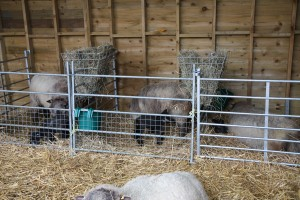 Inside the lambing pen