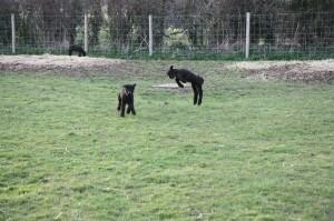 Lambs having fun