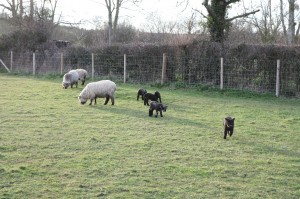 Lambs play in early evening