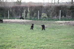 Lambs playing