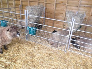 in the lambing shed