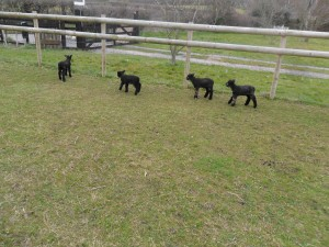 4 lambs check the fence