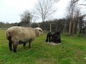 4 lambs in a huddle