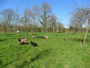 Sheep and lambs have plenty of space