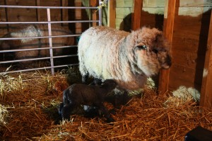 Star with Willow and Wallace just after birth