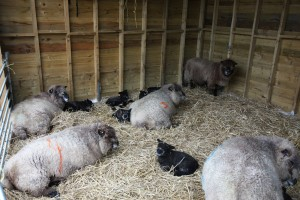 lambs in shed during storm