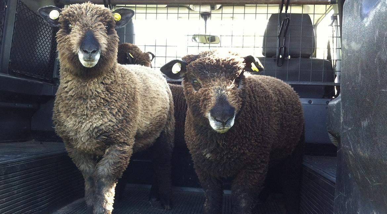 sheep-in-landy