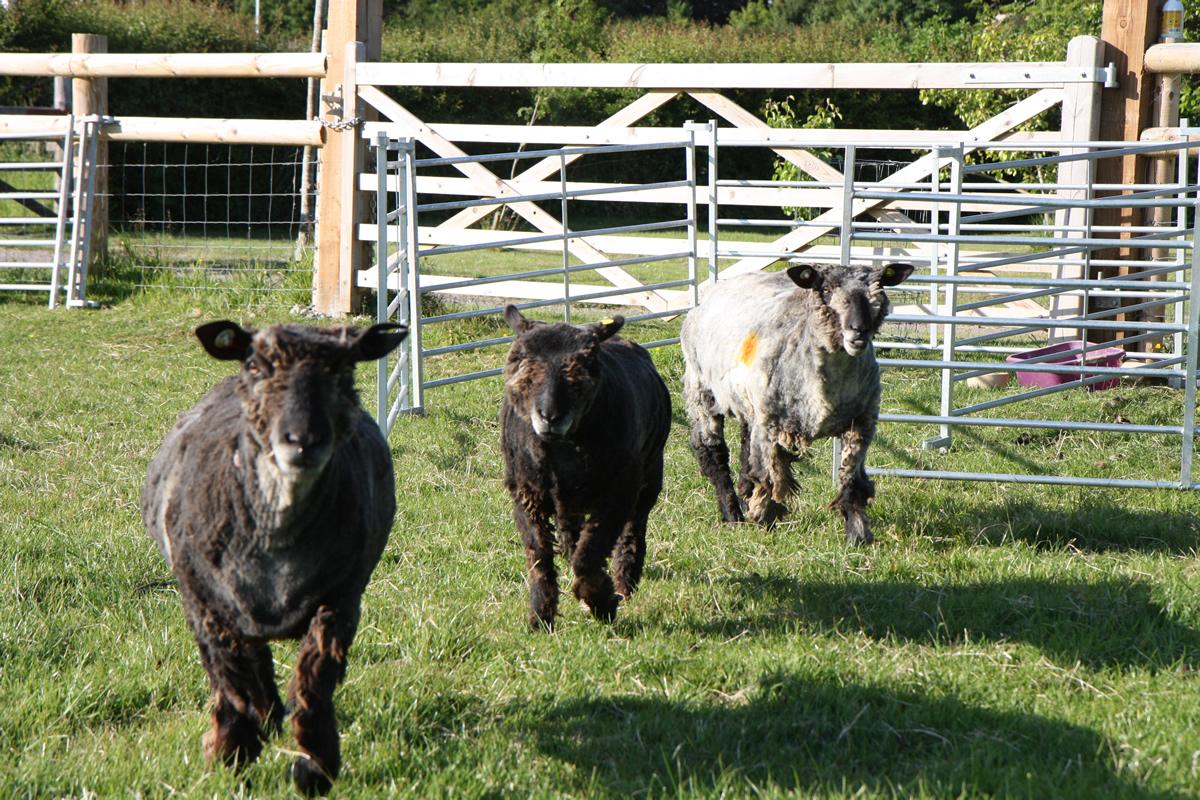 newly sheared sheep