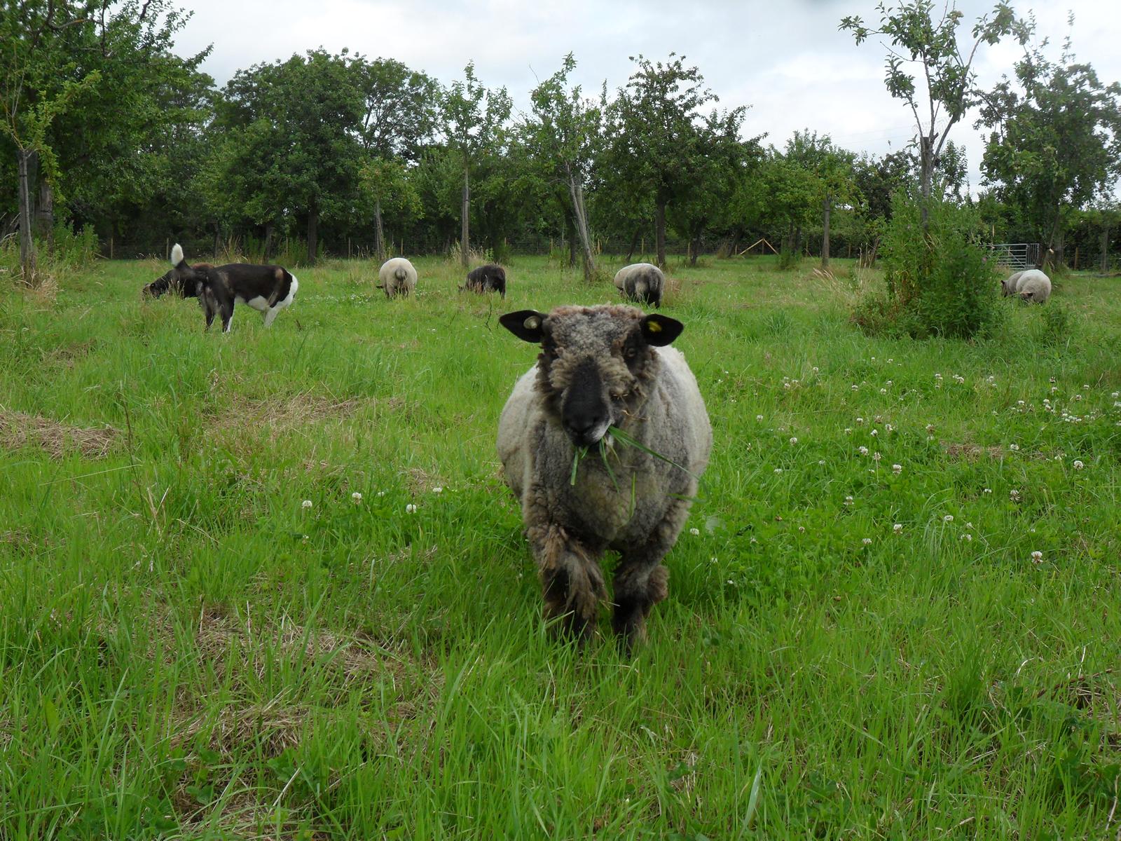bluemli coloured ryeland sheep in new field