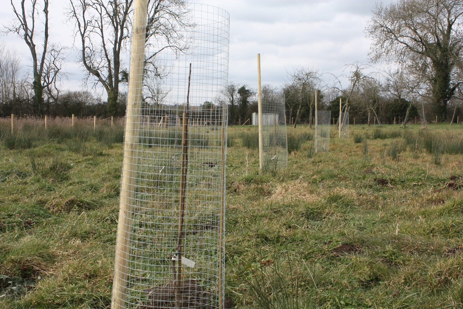 new apple trees