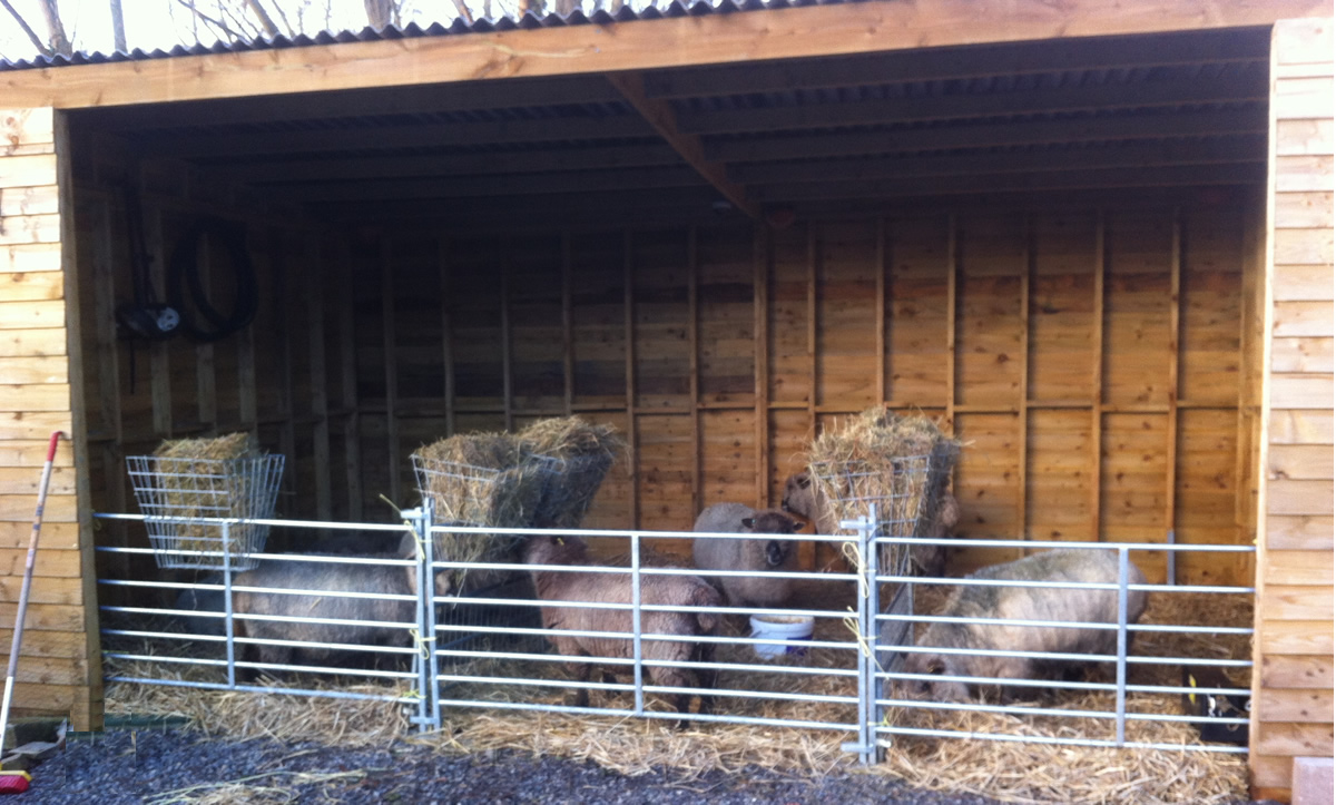 sheep in lambing shed
