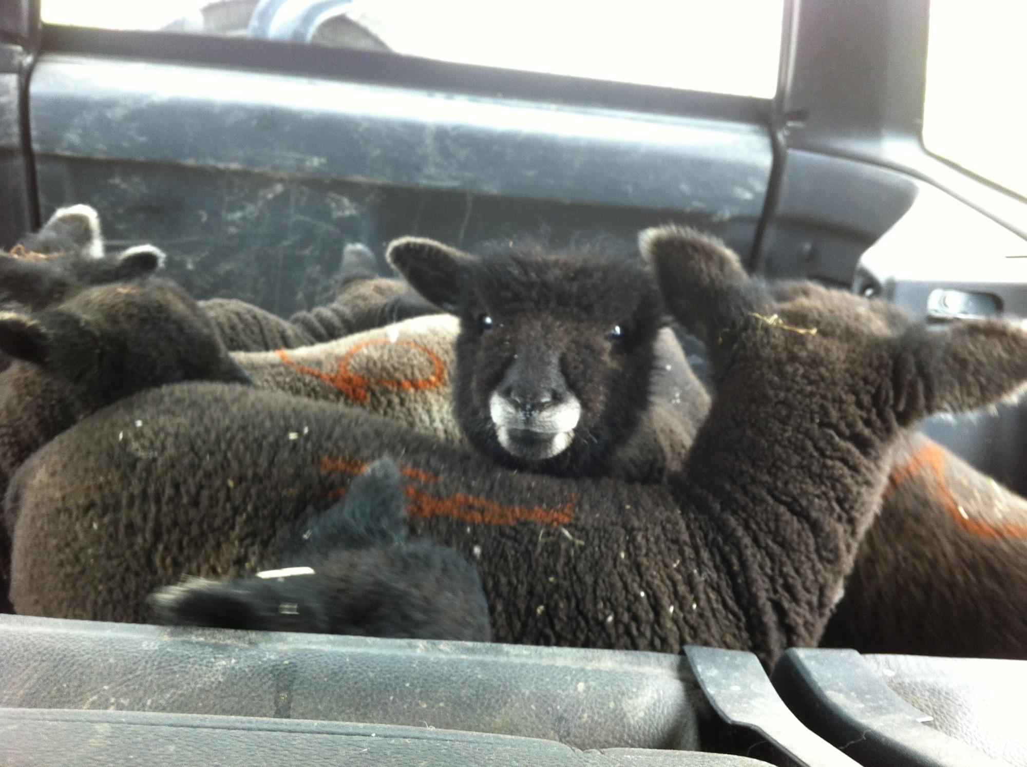 lambs in transit