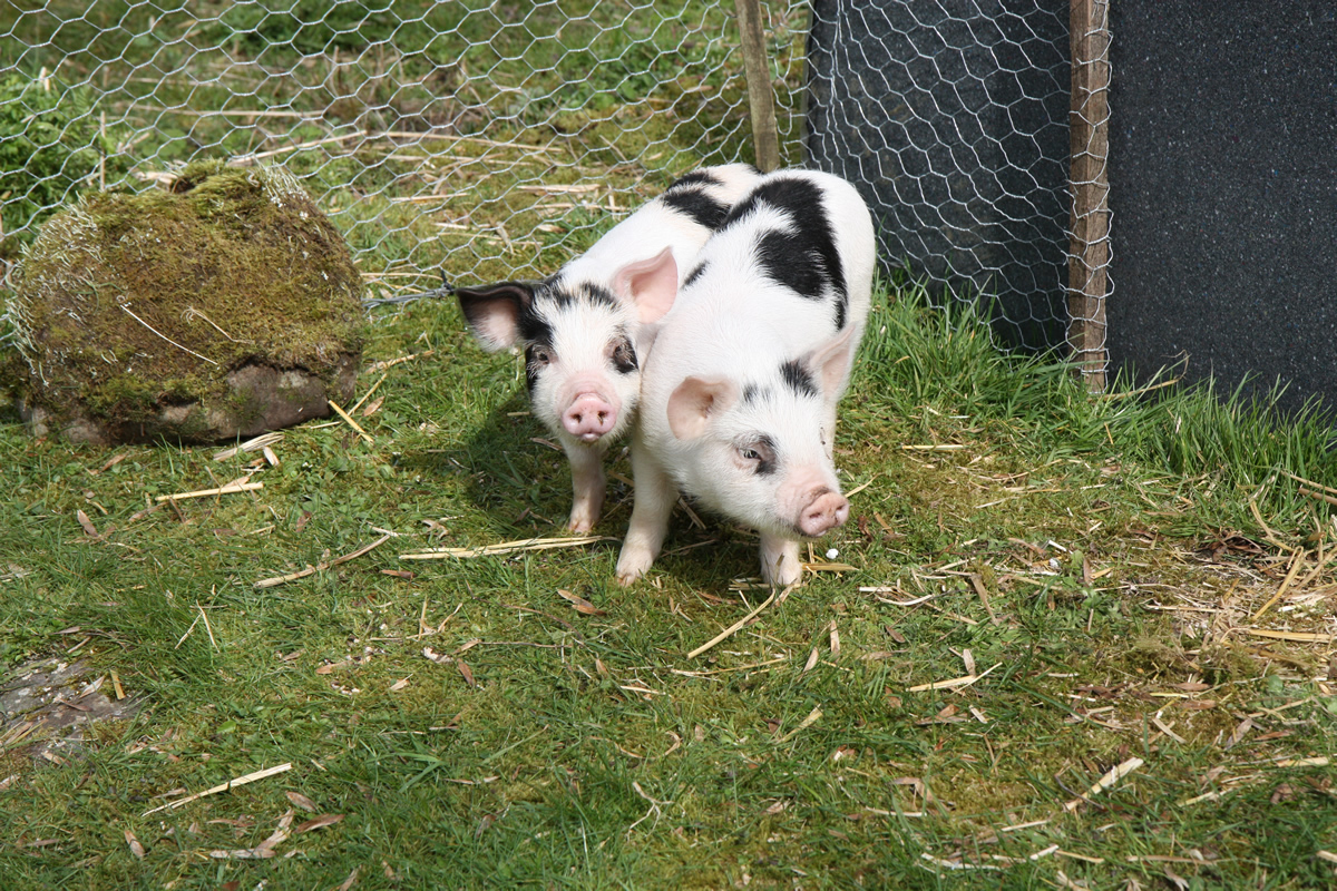 piggies in small run