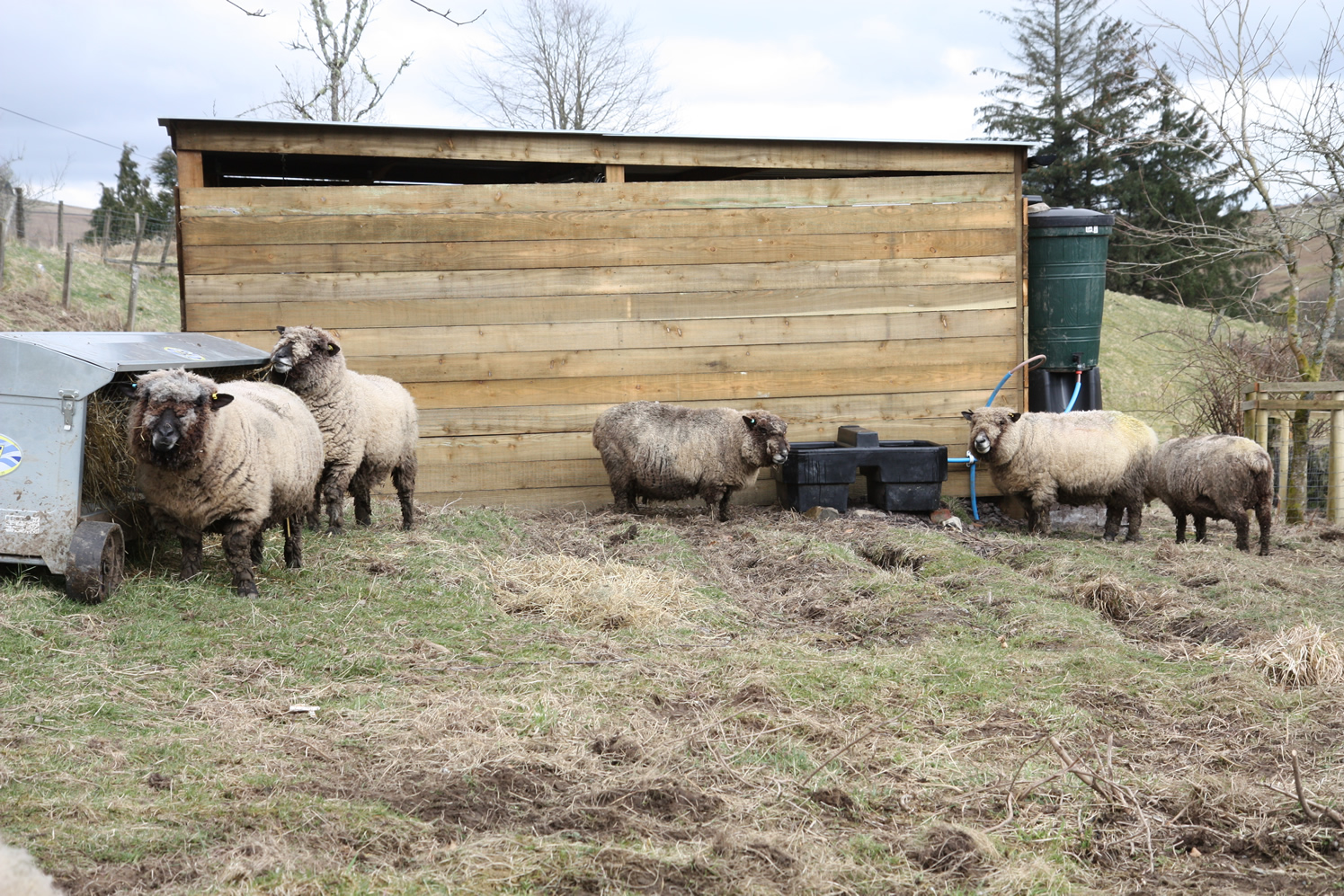 Sheep checking out new facilities