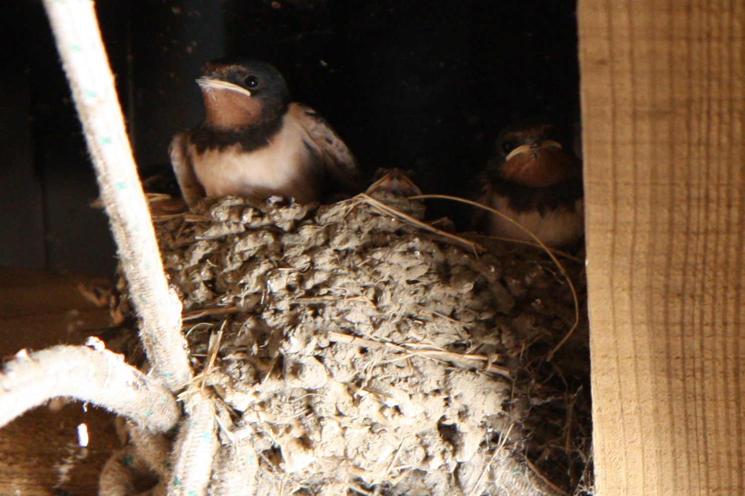 baby swallows close up