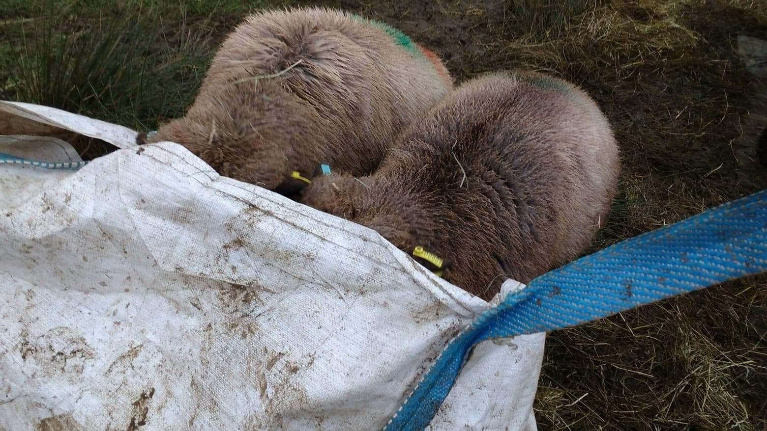 lambs in hay bag