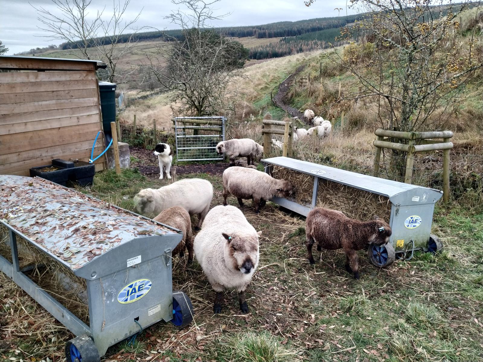 sheep at hay feeders