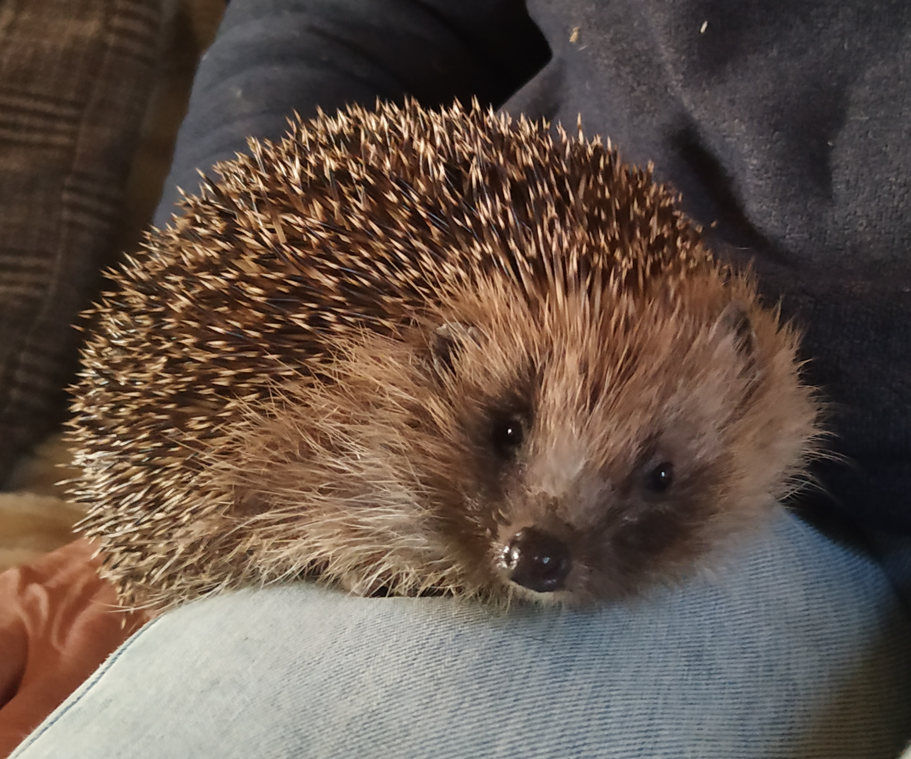 hoggy the hedgehog