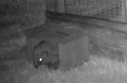 hoggy coming out of feeder