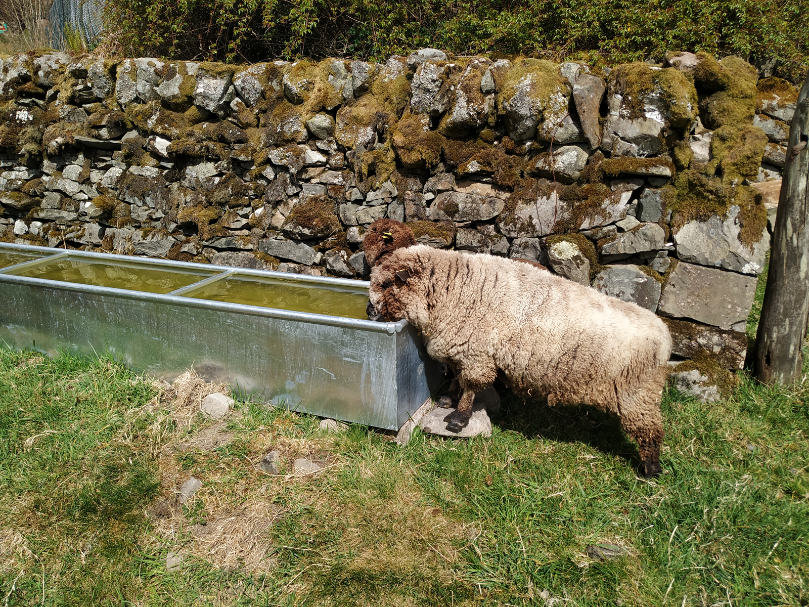 sheep having a drink