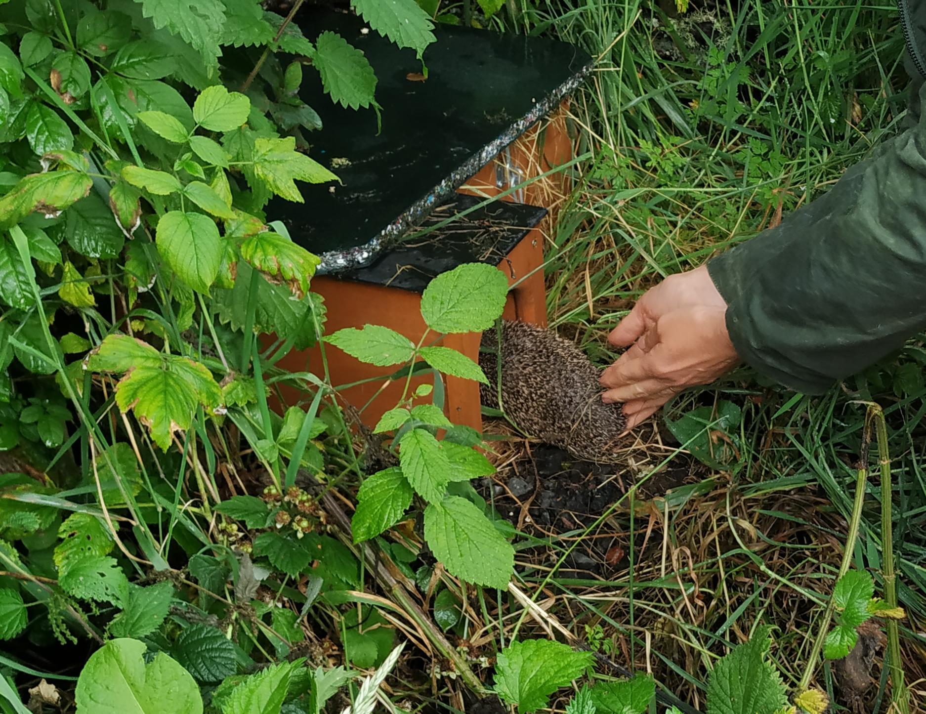 releasing young hedgehog
