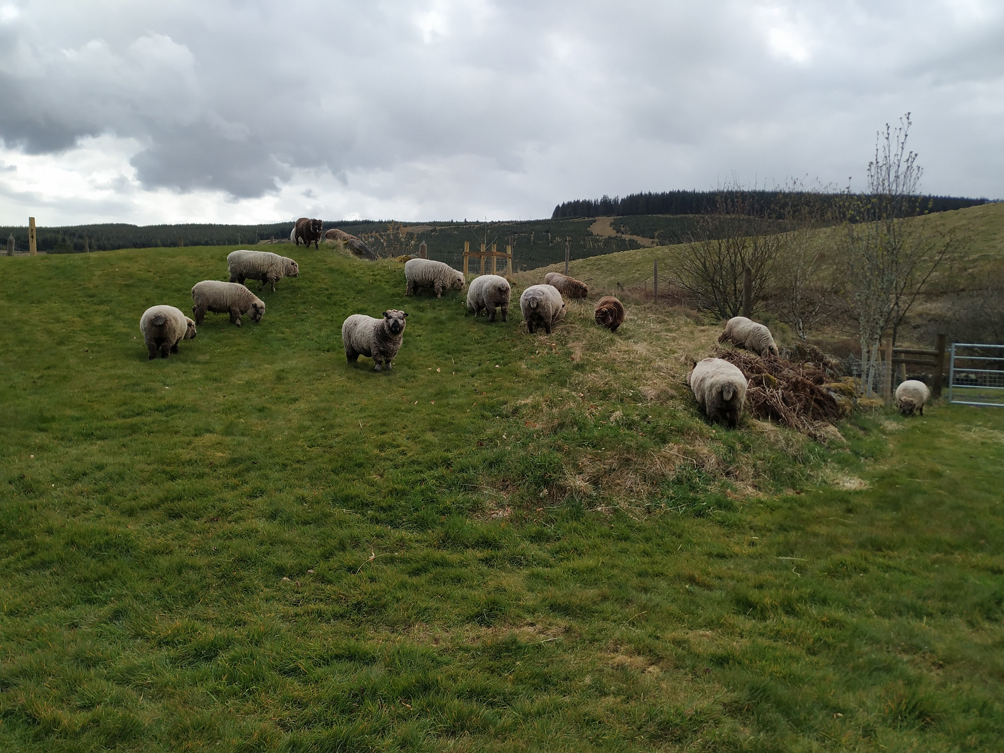 new paddock with sheep
