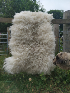 sheep friendly sheepskin-Cheviot hog