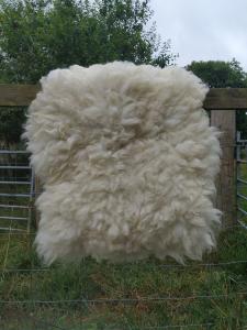 sheep friendly sheepskin - Texel x Herdwick