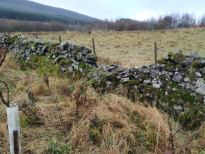 Paddock stone dyke - small hole but much of the wall leaning badly