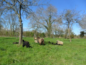 Lambs and sheep in the orchard