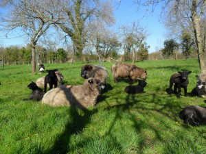 Sheep and lambs gather in the orchard