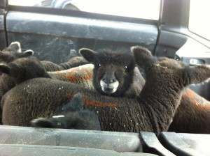 lambs in the back of the car